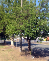 Tree dedicated to Edwin Morley in Euroa Avenue of Honour